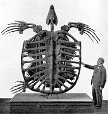 Archelon skeleton.jpg
