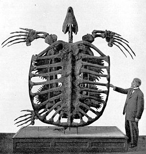 Archelon - Type specimen (YPM 3000) of Archelon ischyros in the Yale Peabody Museum, Yale University