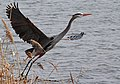 Ardea herodias -Montezuma National Wildlife Refuge, USA-8.jpg