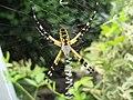 Argiope aurantia hanging.jpg