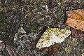 Arichanna vernalis (24780995723).jpg