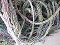 Aristolochia gigantea in Jardin des Plantes 01.JPG