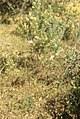 Armeria arenaria, plantain leaved thrift, and Asparagus officinalis. Non spiny. Marmara Forest (37086214343).jpg