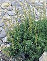 Artemisia michauxiana (5042596670).jpg