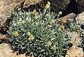 Artemisia umbelliformis.jpg