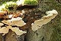 Artist's Bracket - Ganoderma applanatum (44029693701).jpg