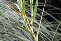 Arundina graminifolia 8zz.jpg