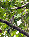 Ashy-breasted Flycatcher (Muscicapa randi) facing right in tree.jpg