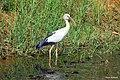 Asian Openbill stork (ചേരാക്കൊക്കന്) (8708691317).jpg