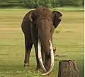 Asiatic Elephant Kabini.jpg
