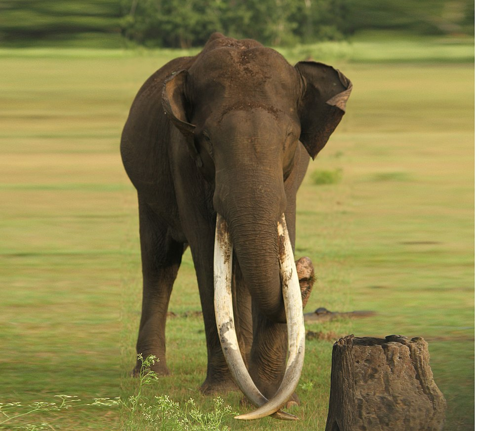Asiatic Elephant Kabini