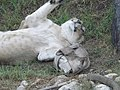 Asiatic Lioness 07.jpg