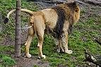 Asiatic lion marking its territory.jpg