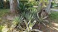 Asparagales - Agave americana - 1.jpg