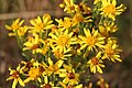 Asterales - Jacobaea vulgaris - 3.jpg