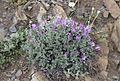 Astragalus - Geven 03.jpg