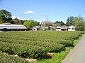 Atarashiki-mura Tea Plantation.JPG