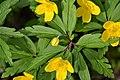Atlas roslin pl Zawilec żółty 2463 6335.jpg