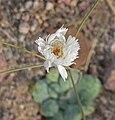 Atrichoseris platyphylla 5.jpg
