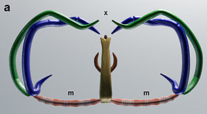 Clamp (zoology) - Image: Attachment clamps of 'Omanicotyle heterospina' (Monogenea, Microcotylidae) Median View