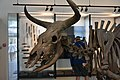 Aurochs, 8600 BCE, National Museum, Copenhagen (1) (35568841674).jpg