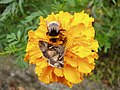 Autographa gamma and Bombus terrestris or B. lucorum 55.jpg