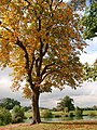 Autumn Horse Chestnut at Woodland Waters - geograph.org.uk - 582549.jpg