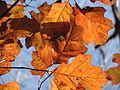 Autumn Leaves Umstead SP NC 3541 (4108611657).jpg