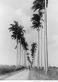 Avenue de palmistes près la Capesterre (Guadeloupe, 1895).png