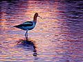 Avocet in Sunset Reflection 2 (26709473106).jpg
