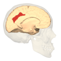 BA31 - medial view.png