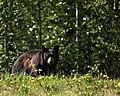 BLACK BEAR (4676384123).jpg