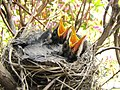 Baby Robins Ready to Feed.jpg