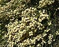Baccharis articulata 2.jpg