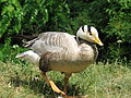 Bald headed geese-Anser indicus-germany.jpg