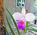 Bamboo Orchid Flower in Hong Kong Feb 8 2013.JPG
