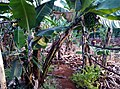 Banana plants growing vibrantly symbolising the simple vibrant life of Africa.jpg