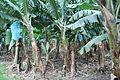 BananasLaDuena2.JPG