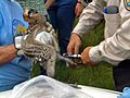 Banding a young osprey (11713678963).jpg