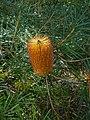 Banksia badangi 01.jpg