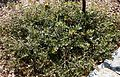 Banksia media prostrate form.jpg