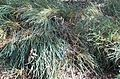 Banksia nivea subsp uliginosa.jpg