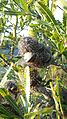 Banksiaaemulamunmorah1.jpg