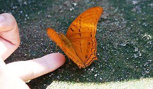 Bantimurung – Bulusaraung National Park - Butterfly in Bulusaurung Conservatory