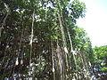 Banyan tree, Waikiki Beach, Oahu, Hawaii, USA4.jpg