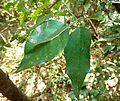 Baphia racemosa, loof, b, Krantzkloof NR.jpg