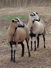 Sheep - Wikipedia