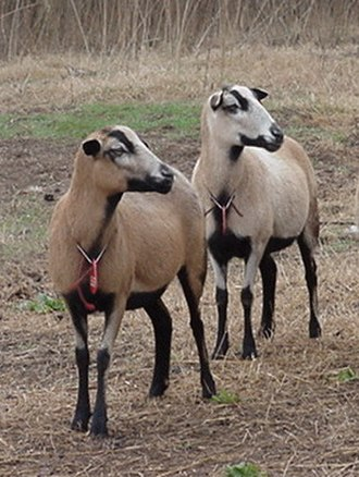 Sheep - The Barbados Blackbelly is a hair sheep breed of Caribbean origin.