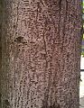 Bark of Cassia siamia.jpg