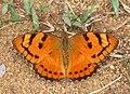 Baronet Euthalia nais (7921570312).jpg